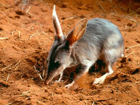 bilbi mayor marsupial austrialia animales