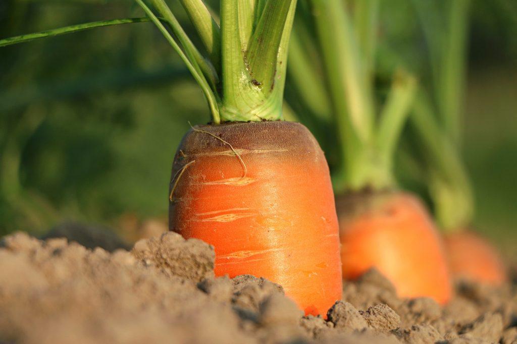 carrots orange colored