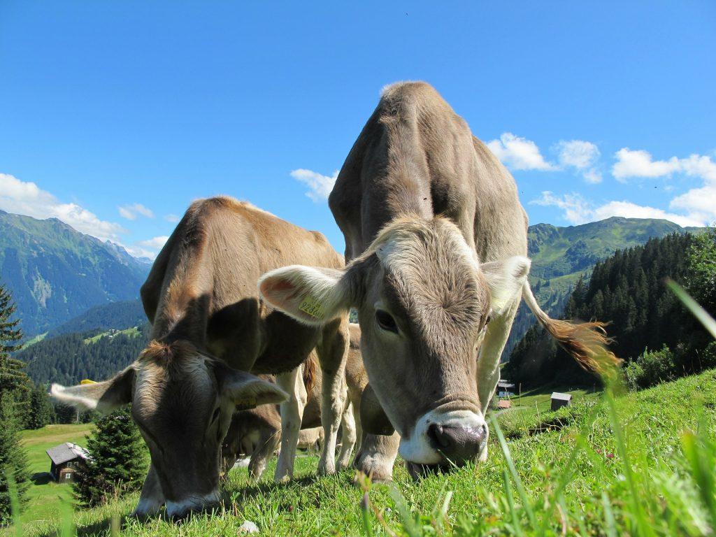 cow ruminants