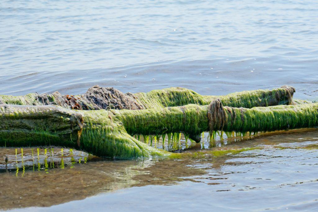 algae sea vitamin